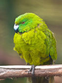 Antipodes island parakeet — Stock Photo