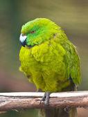 Antipodes island parakeet — Stock Photo