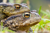 Amplexing couple of Common Toad — Stock Photo