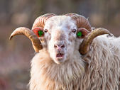 Ridiculous sheep — Stock Photo