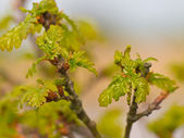 Growing leaves in spring — Stock Photo