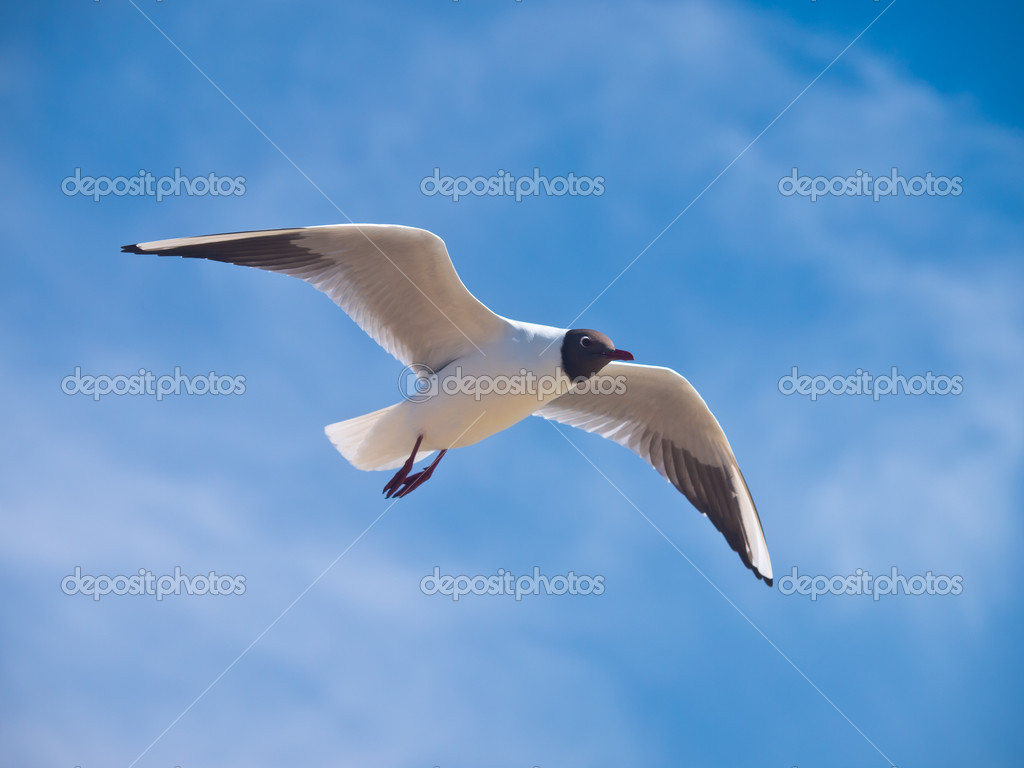 Black-headed gull flying on the bright blue sky with some clouds — Stock Photo #14718369