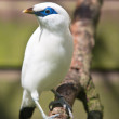 Bali myna or Bali Starling - Foto Stock