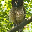Stock Photo: Brown Wood Owl