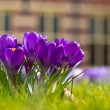 A group of crocus — Stock Photo