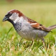 Male house sparrow - Stock Photo