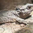 The Tuatara still lives in New Zealand — Stock Photo