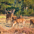 Male red deer (Cervus elaphus) is shouting — Stock Photo #14724811