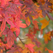 Stock Photo: Maple leafs in many colors during fall