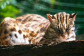 Wild cat lying on a log — Stok fotoğraf