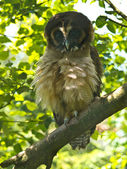 Brown Wood Owl — Stock Photo