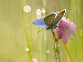 Silver Studded Blue Butterfly — Stock Photo