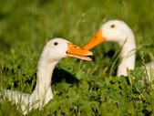 A couple of white duck — Stock Photo