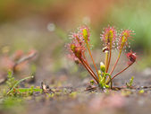 Spoonleaf sundew — Stock Photo