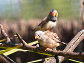 Couple of zebra finches — Stock Photo