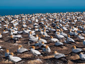 Gannet colony — Fotografia Stock