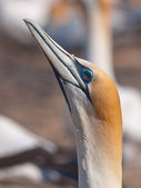 Head of a gannet — Stock Photo