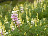 Group of lupin flowers — Stock Photo