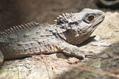 The Tuatara still lives in New Zealand — Foto de Stock