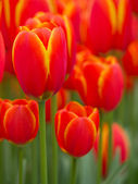 Abstract close up of red and yellow tulips — Stock Photo