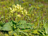 Blooming primula — Stock Photo