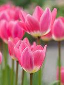 Wibrujący różowe tulipany — Zdjęcie stockowe