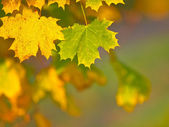 Green and yellow autumn maple leaf in autum colors — Stock Photo