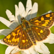 Chequered skipper - Stock Photo