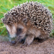 Hedgehog Baby close up — Stock Photo #21159635