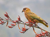 Kea parrot — Stock Photo