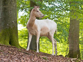 Albino deer — Stock Photo