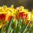 A field of yellow with red tulips — Stock Photo