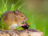 Wild field mouse eating blackberry on log sideview — Stock Photo