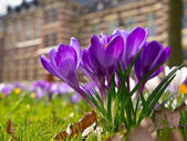 Blooming purple crocus — Stock Photo