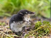 Musaraña europea del agua en hábitat natural — Foto de Stock