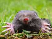 European Mole Head — Stock Photo