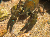 European broad-fingered Crayfish — Stok fotoğraf