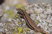 Common Wall Lizard — Stock fotografie