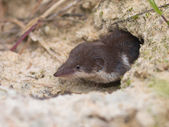 Bicolored White-toothed Shrew — Stock Photo
