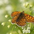Glanville Fritillary — Stock Photo