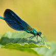Постер, плакат: Damselfly on a leaf