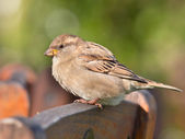 Female House Sparrow — Foto Stock