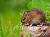 Wild mouse sitting on log — Stock Photo