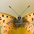 Back Lit Sooty copper Butterfly — Stock Photo