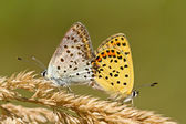 Couple of Sooty copper Mating — Foto de Stock