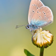 Stock Photo: Mazarine Blue Butterfly on flower