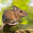 Stock Photo: Side View of a Field Mouse (Apodemus sylvaticus) on a Branch