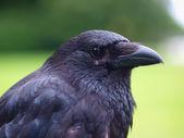 Black Carrion Crow portrait — Stock Photo
