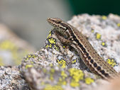 Common Wall Lizard — Stock Photo