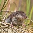 Bicolored White-toothed Shrew — Stock Photo #34023493